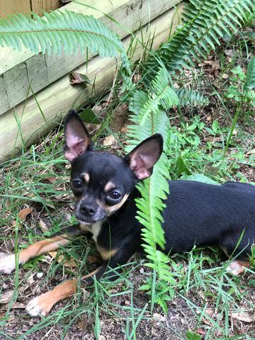 Theo, a chihuahua